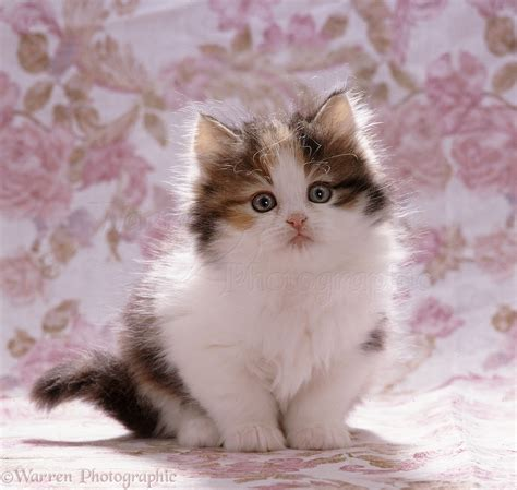and kitten tortoiseshell and white kitten photo wp07659