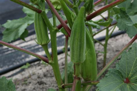 how to house a grown how to grow okra from seed easily in your own home healthy food house