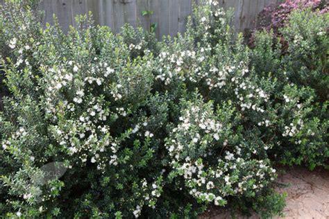 Full Sun Flowering Shrub - myrtus