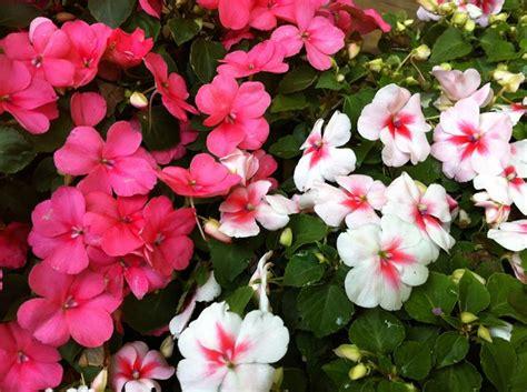 Nuova Guinea Fiore Sole by Impatiens Nuova Guinea Fiori Da Giardino Impatiens