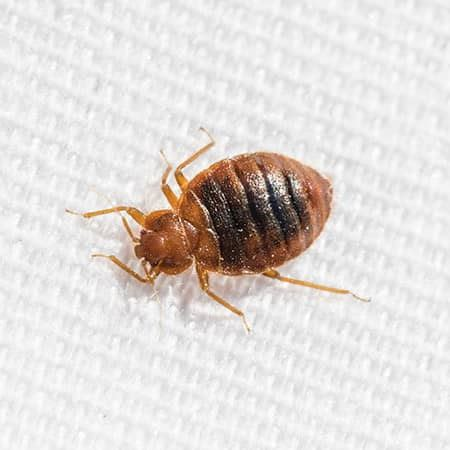 bed bugs solution bed bugs solution pictures of bed bugs khatmal control