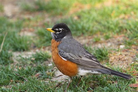 best 28 robin bird food the world s best photos of