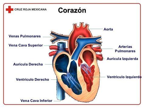 imagenes medicas de corazon las 25 mejores ideas sobre partes del corazon humano en