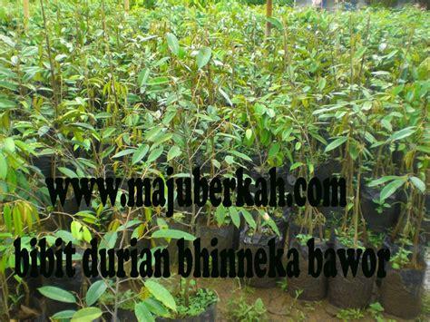 bibit durian bawor bibit durian bhineka bawor bibit