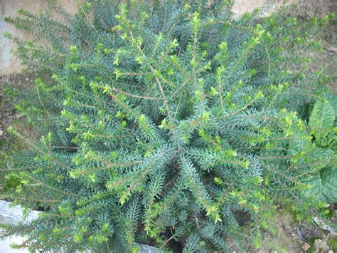 pianta fiorita tutto l anno creando piccoli cespugli pu 242 essere abbinata con l edera
