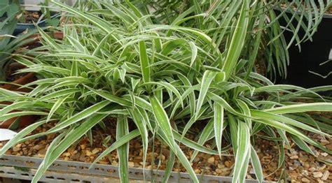 tanaman hias  berguna  kesehatan health