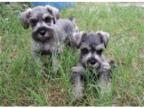 schnauzer puppies florida miniature schnauzer puppies in florida
