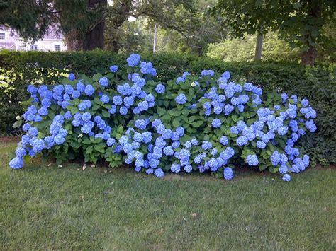 blue flowering shrubs myideasbedroom - Blue Flowering Shrubs