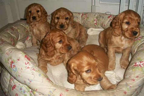 miniature cocker spaniel puppies for sale cockerspaniel puppies for sale bazar