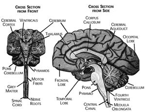 cross section of the brain labeled nevi term glossary nevus outreach inc