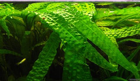 Superior Plant Names #1: Cryptocoryne-aponogetifolia-52e82418ef787.jpg