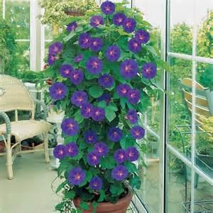Mandevilla Trellis Annual Or Perennial Plante En Pot Cr 233 Er Un Jardin Avec Des Plantes En Pot
