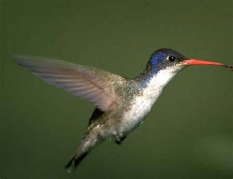 violet crowned hummingbird life expectancy