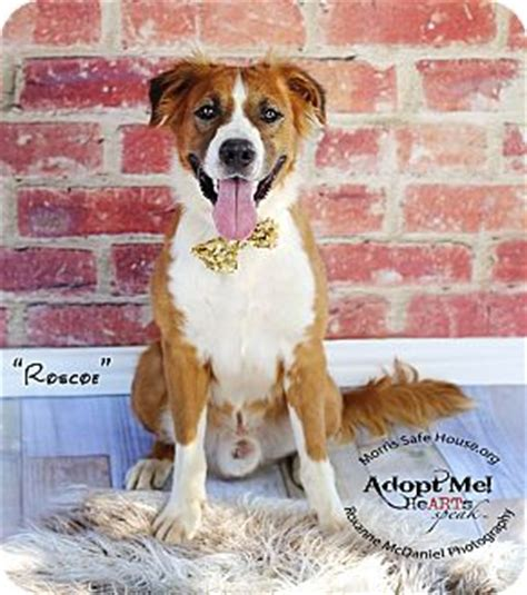 golden retriever puppies lubbock lubbock tx golden retriever st bernard mix meet roscoe a for adoption
