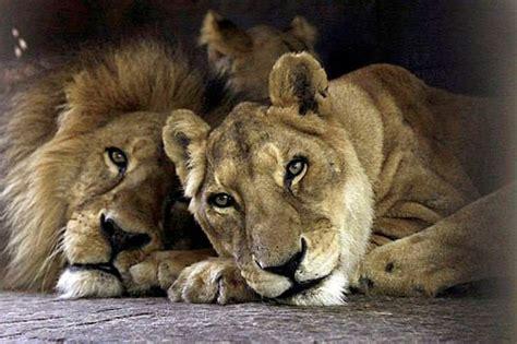 imagenes leones enamorados de leones enamorados imagui