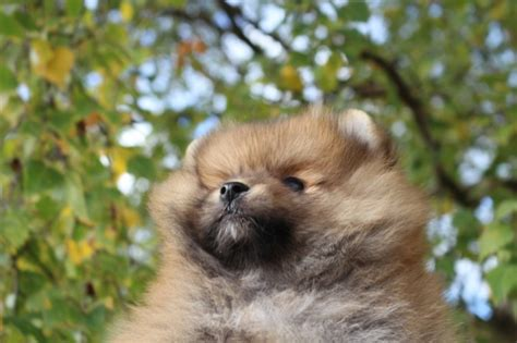 teacup pomeranian for sale chicago teacup dogs for sale in chicago breeds picture