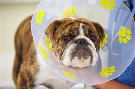 neutering recovery road to recovery post operative spay and neuter care