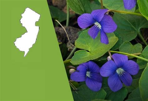 new jersey state flower wood violet home pinterest new jersey state flower the common meadow violet