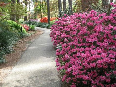 Ruby Garden by Great Colors Picture Of Ruby M Mize Azalea Garden