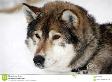 5 11 Black Wolf Brown portrait of a brown siberian husky stock photo image of