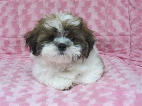 shih poo puppies shih poo shih tzu poodle mix facts temperament diet puppies pictures