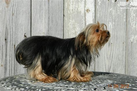 morkie puppies for sale in indiana maltese breeders in indiana breeds picture