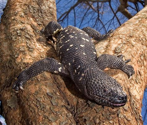 guatemalan beaded lizard guatemalan beaded lizard facts and pictures reptile fact