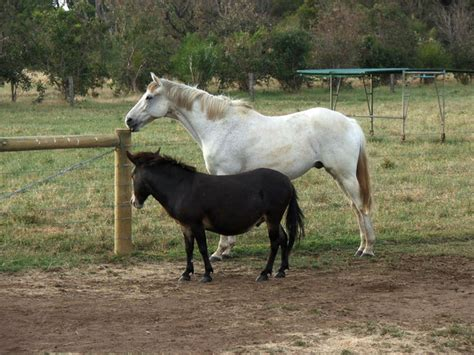 big mating small coming together a pony and mule all gathering at the