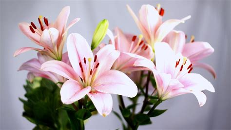 lilies or lillies lilies plants for house garden and water embellishment