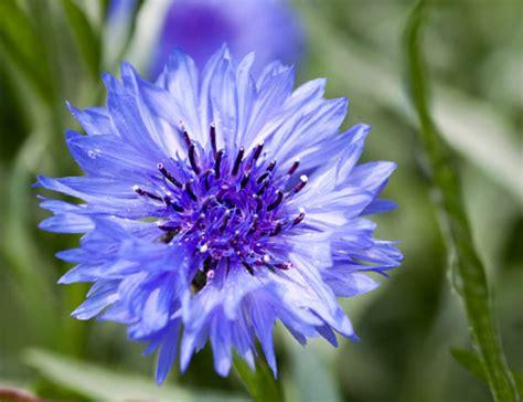 fiore fiordaliso fiordaliso propriet 224 e benefici doctissimo