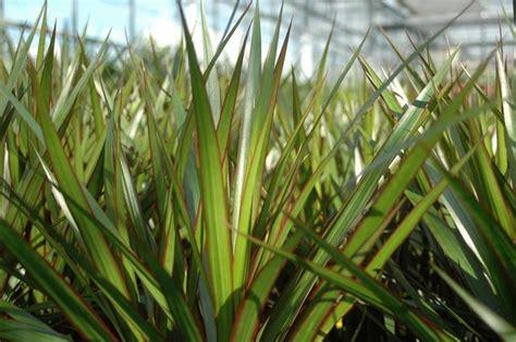 malattie piante appartamento dracena marginata piante appartamento dracena