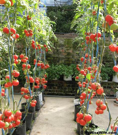 Backyard Tomatoes by Black Plastic Growing Tomatoes For Beginners 1185