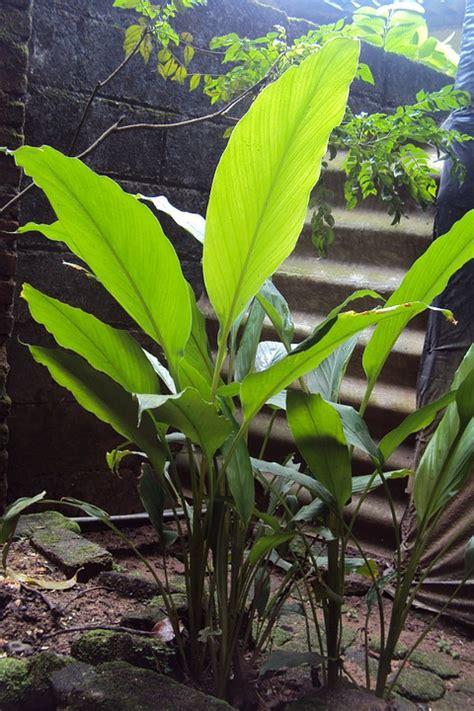 zenzero coltivazione vaso zenzero coltivazione in vaso