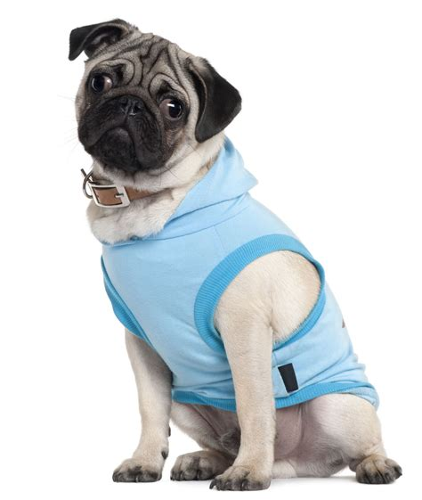 when do pug puppies open their small dogs that bark less and make and companions