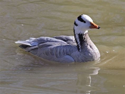 file bar headed goose rwd1 jpg wikimedia commons