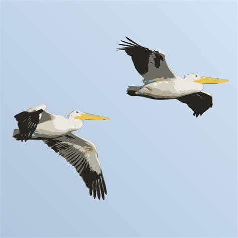 a in the clipart pelicans in flight