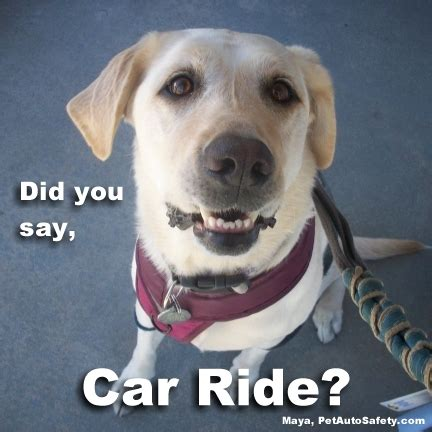Dog In Car Meme - avoiding vehicle animal collisions sr22 dui insurance