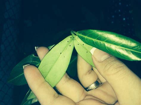 kirschlorbeer rotundifolia kaufen rundbl 228 ttriger kirschlorbeer prunus laurocerasus