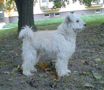 pumi puppies for sale photos 17 best ideas about pumi on hungarian dogs and breeds