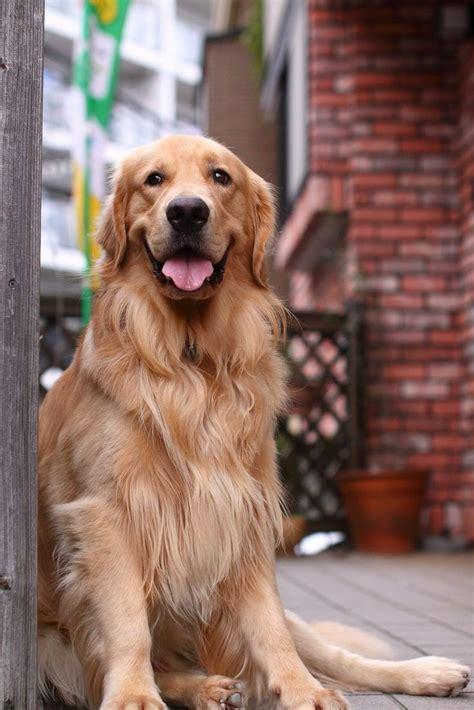 golden retrievers are the best 25 best ideas about golden retriever puppies on retriever puppies