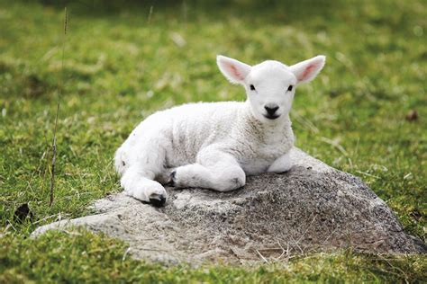 Home Design Hd by Baby Sheep Wallpapers Baby Animals