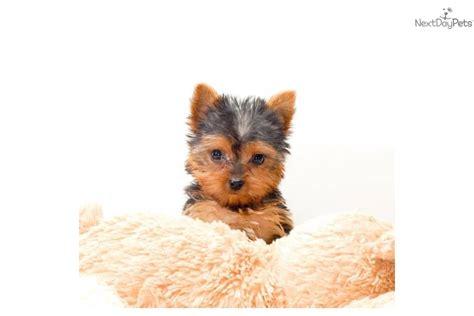 free yorkie puppies in ohio terrier yorkie puppy for sale near columbus ohio c944913c b181