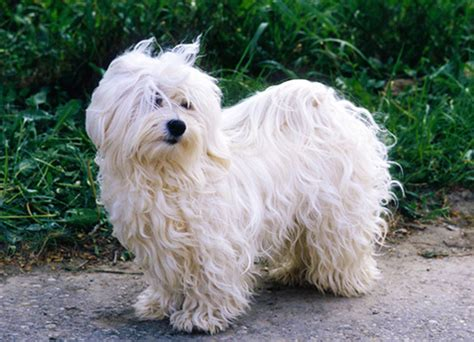 lifespan of havanese dogs havanese breed mypetzilla