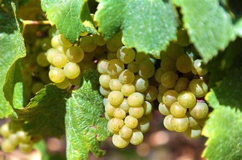 uvas blancas imagenes racimo de uvas verdes en un vi 241 edo descargar fotos gratis