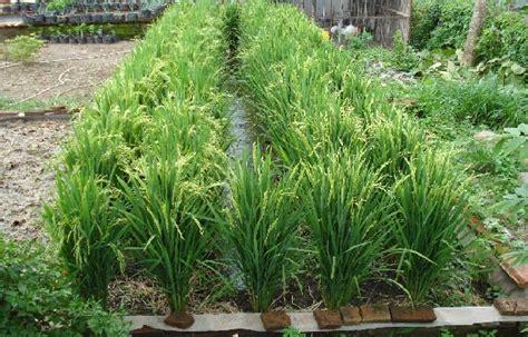 penanaman padi pot  teknologi  bio