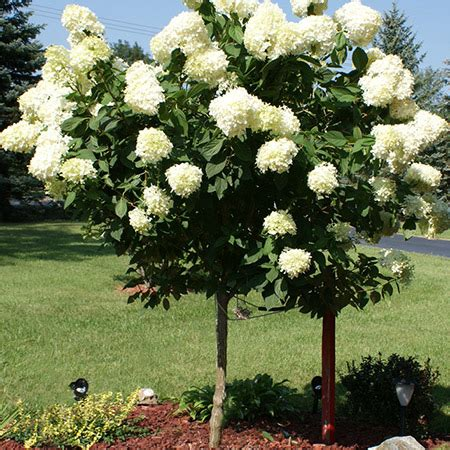 for sale tree limelight hydrangea tree for sale fast growing trees