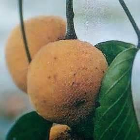 Bibit Bunga Matahari Palembang budidaya duku palembang putra jaya dasuk sumenep