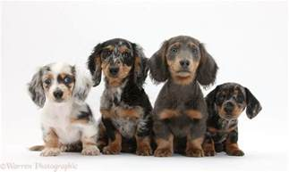 Dogs: Assorted Dachshund pups photo - WP32374