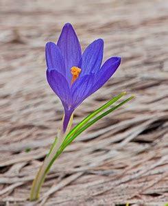 fiore violetto ireos fiore dizionario significato e curiosit 224