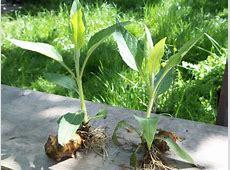 Eine Sonnenblume mit Knolle - Topinambur - Pflanzen ... Indianer Forum